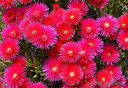 Glória Ishizaka - flor ver 1