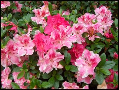 fall azaleas2