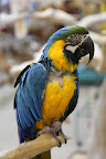 This Blue and Gold Macaw makes an excellent companion, as their breed is quite intelligent and social.  They easily learn how to speak, but they can be quite noisy, as they like to scream out to other birds!