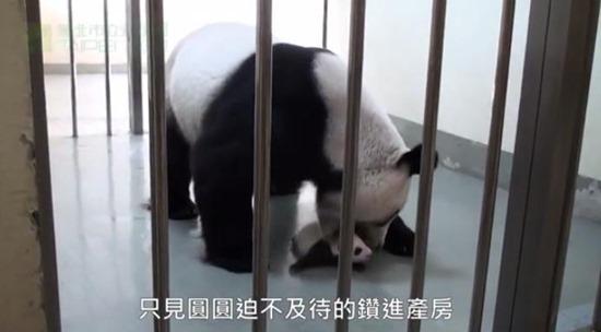 Bebê Panda Gigante 05