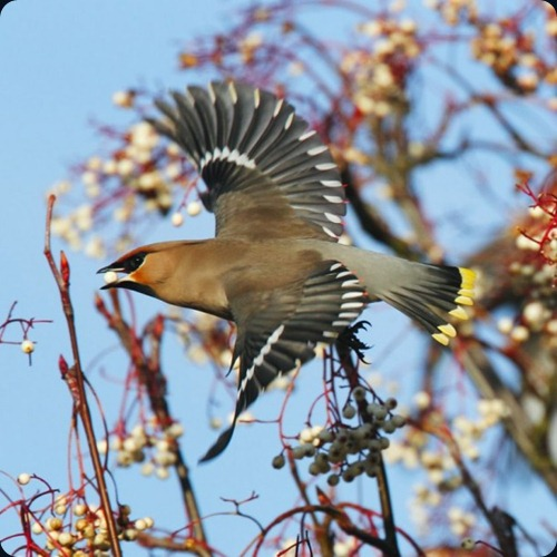 Amazing Beauty of Waxwing Birds5