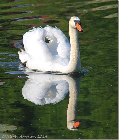 36-mute-swan