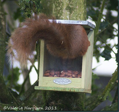 squirrel-in-feeder