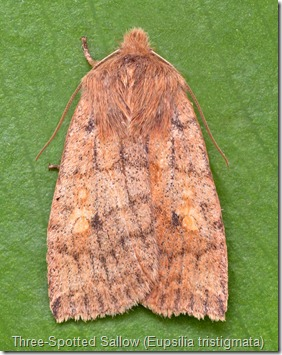 Three-Spotted Sallow (Eupsilia tristigmata)