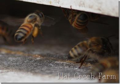 honeybees3