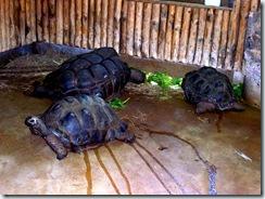 2011.11.14-020 tortues des Seychelles