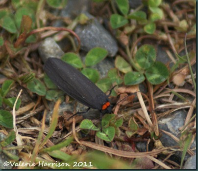 red-necked-footman