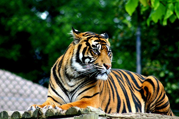 tiger photo edited