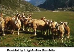 kumpulan kambing