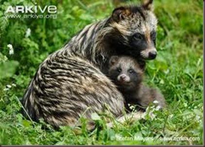 Amazing Animal Pictures Racoon Dog (8)