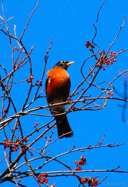 12. upright robin-kab