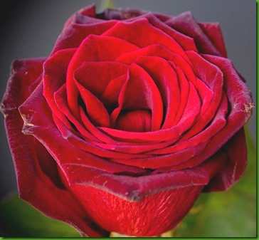Rose BLACK PRINCE