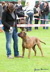 20100513-Bullmastiff-Clubmatch_31095.jpg