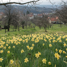 Daffodils by Dubravka Krickic - City,  Street & Park  Neighborhoods ( suburb, croatia, daffodils, zagreb, yellow, flowers, spring, city )