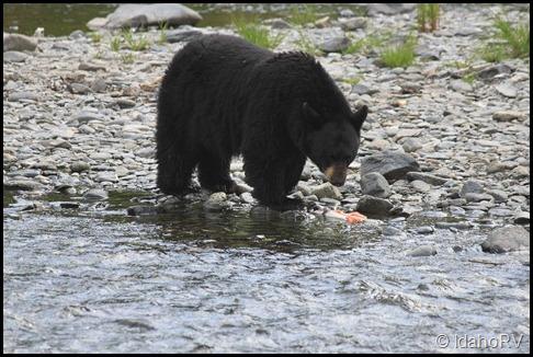 Bear-4