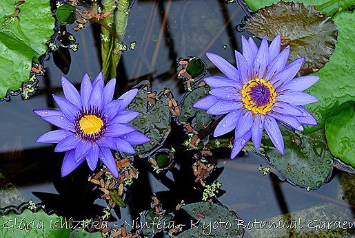 Glória Ishizaka - Ninféia -  Kyoto Botanical Garden 2012 - 5