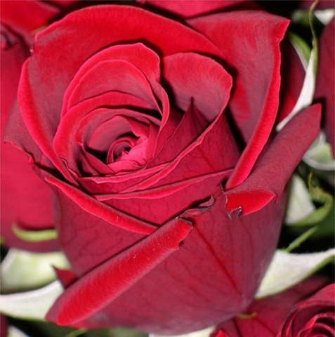 red-rose-picture