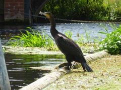 Hellesdon Mill cormorant