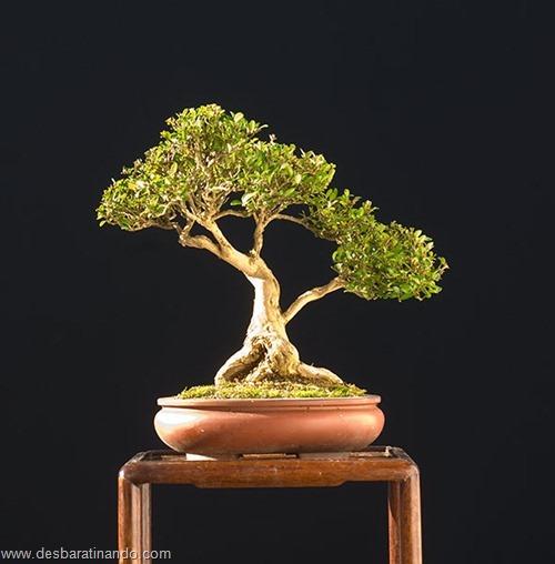 bonsais arvores em miniatura desbaratinando (76)