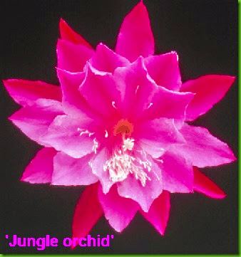 Epi Jungle Orchid