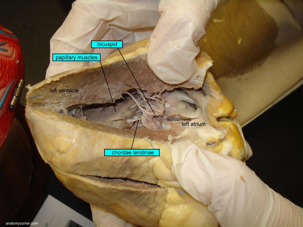 Practical report disection sheep heart Essay Help jhpaperaejj ...