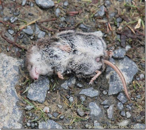 6-dead-shrew