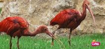pal ibis rouge