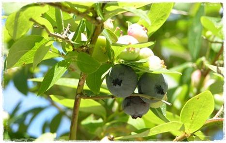 12 blåbär