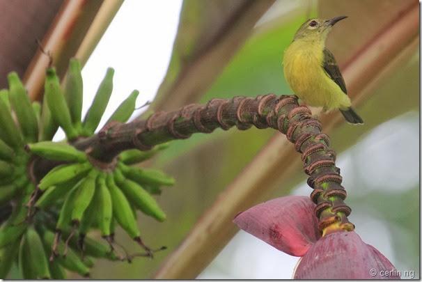 sunbird on musa flower