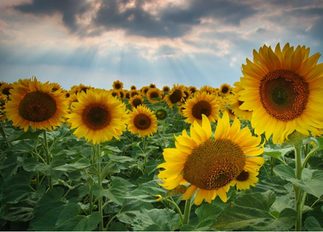Sunflower landscape2