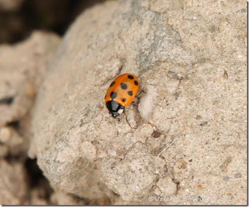11-spot-ladybird