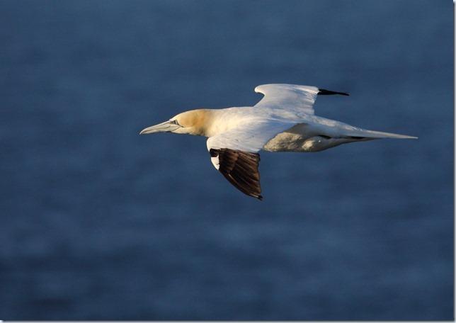 gannet3