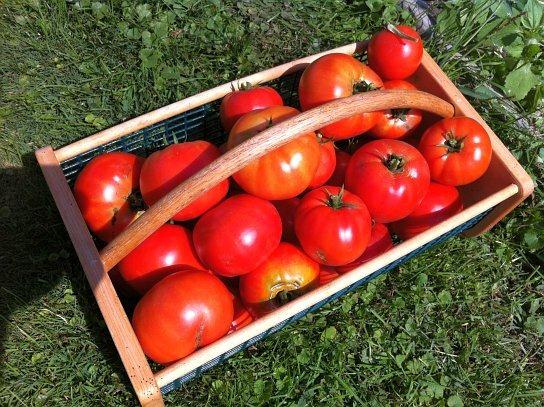Tomato Harvest 2012