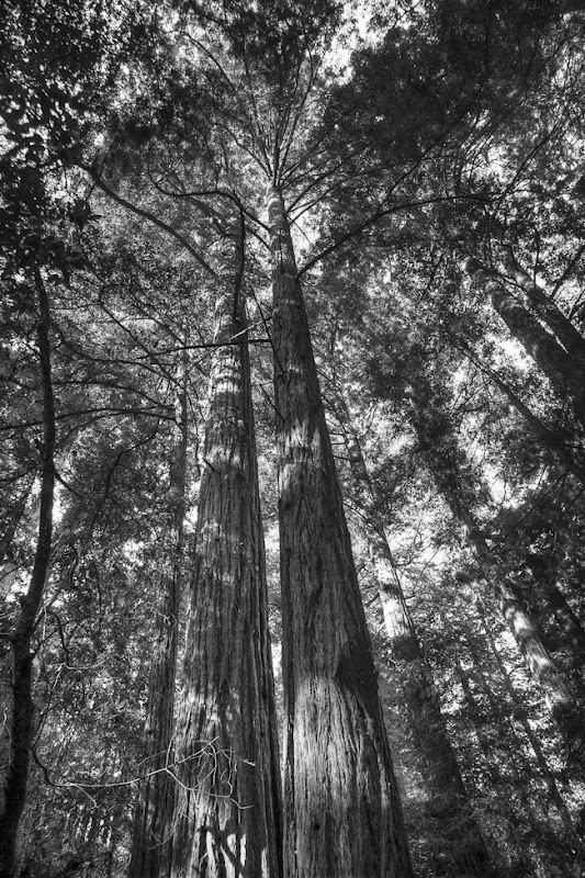Muir Woods Black and White-6
