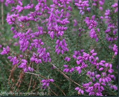 6-bell-heather