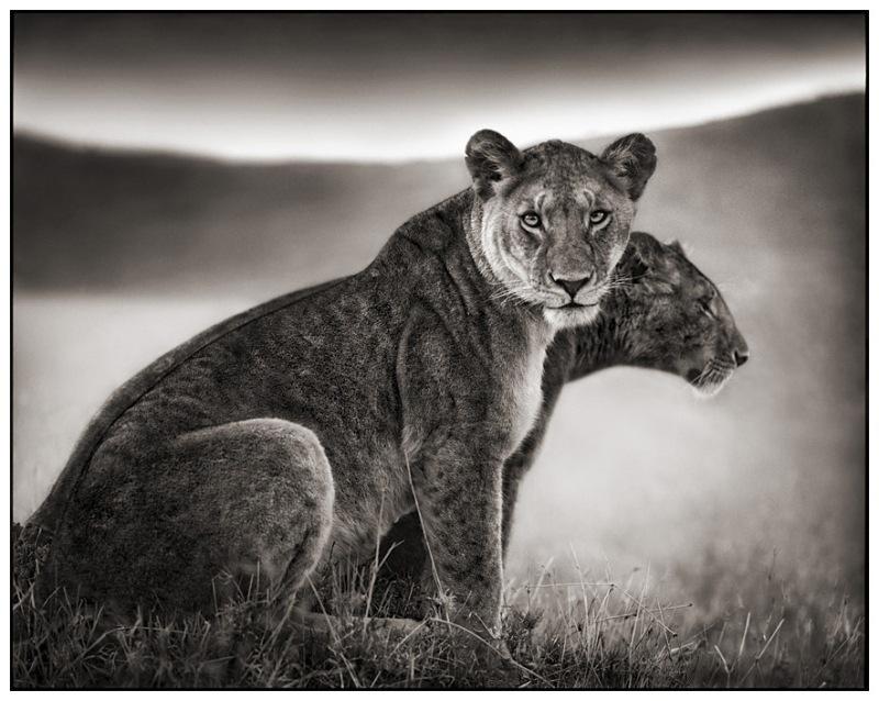 14 Sitting Lionesses