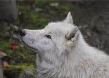 st-martin-la-plaine loup arctique