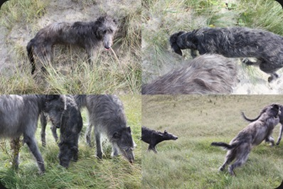 scottish_deerhounds_playing