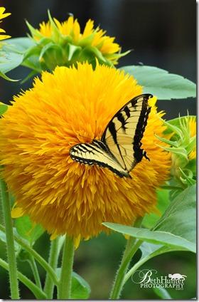 cr-fluffy-sunflower-1509-wb
