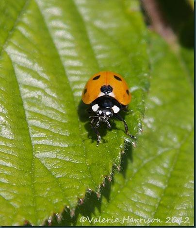 39-7-spot-ladybird