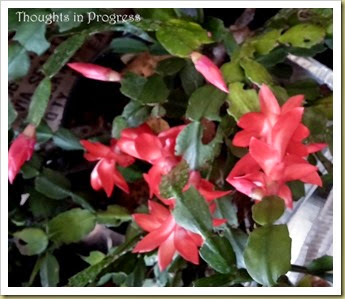 Christmas cactus - Thoughts in Progress