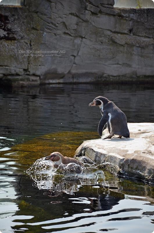 Wremen 29.07.14 Zoo am Meer Bremerhaven 14 Humboldtpinguine