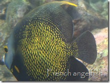 French Angelfish, English Cay, Belize