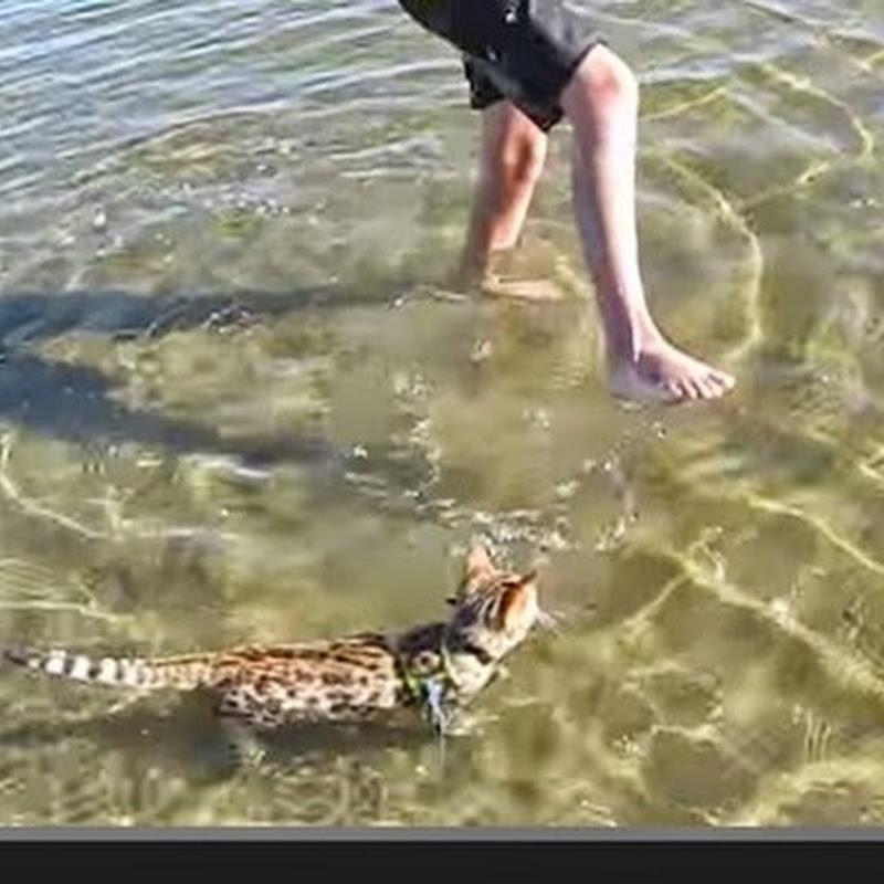 Γατάκι κολυμπαει