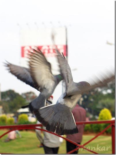 PigeonsFlying