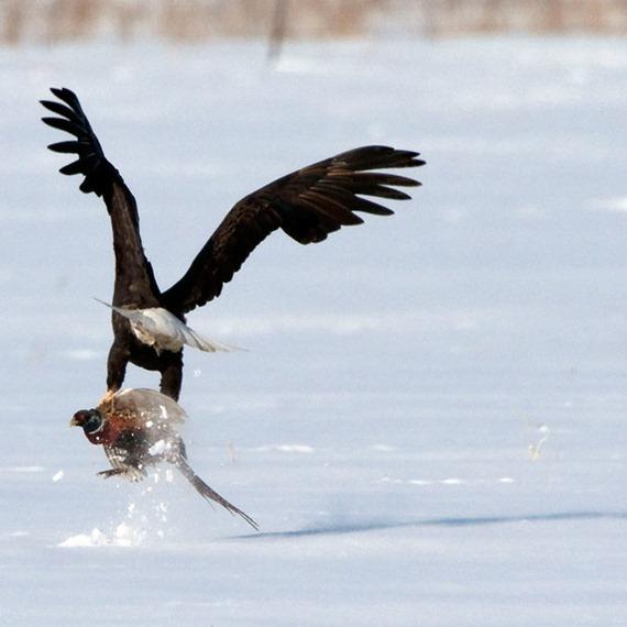 eagle-pheasant_1859334i