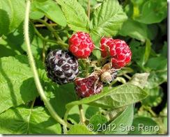 SueReno_WildBlackRaspberries