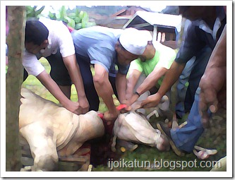 menyembelih-lembu-korban
