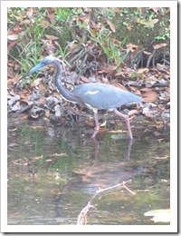 Florida vacation at condo Little blue heron7