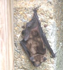bat am 6